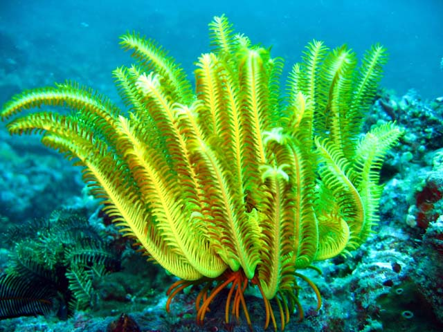 feather star Marine aquarium library: list of species in sea lilies/feather stars.