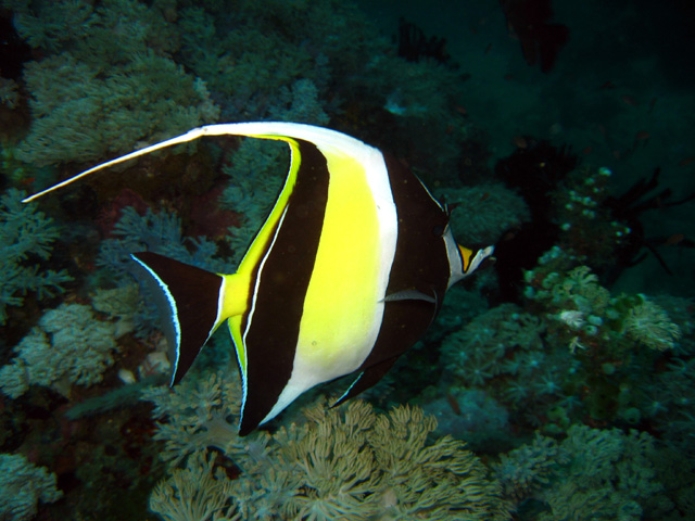Anders poulsen 39 s dive page underwater pictures for Moorish idol fish