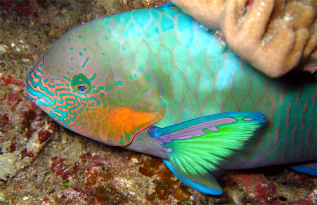 1 for Rainbow parrot fish